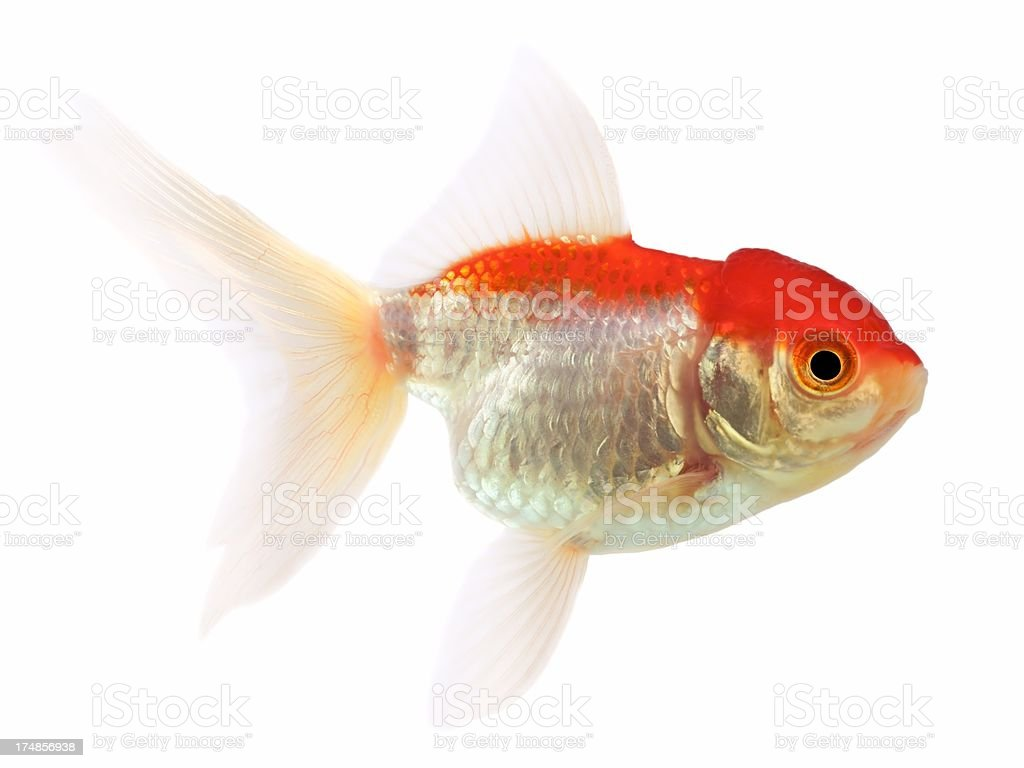 Goldfish (Carassius auratus), Lionhead on a white background stock photo