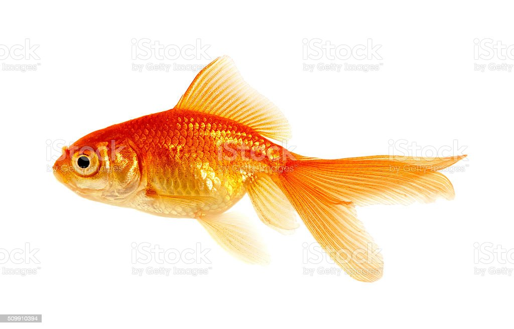 goldfish on a white stock photo