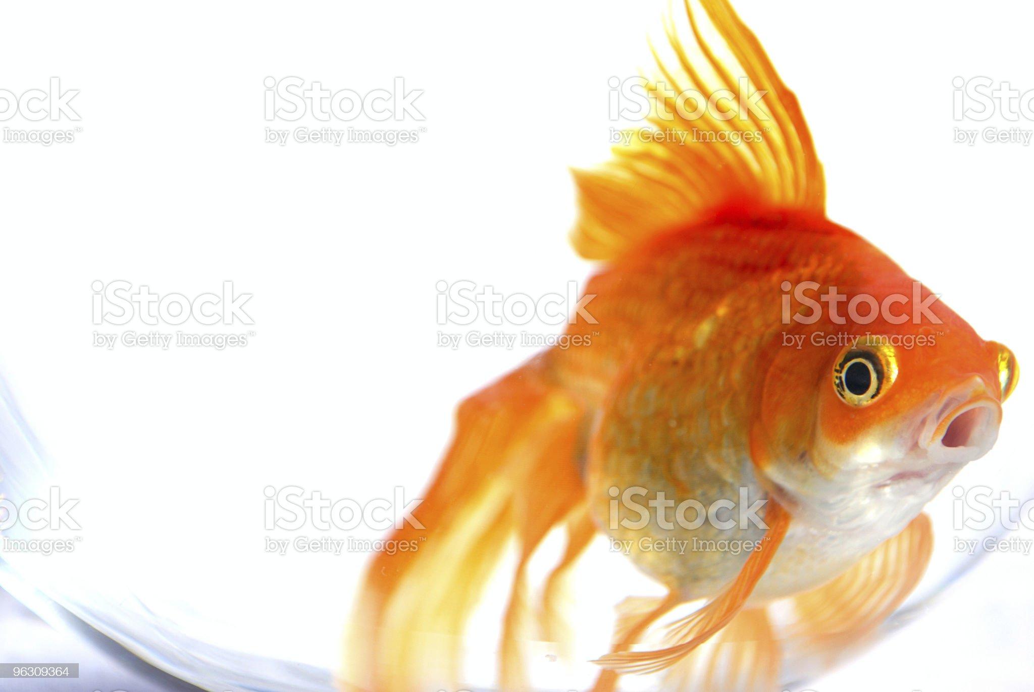 Goldfish. royalty-free stock photo