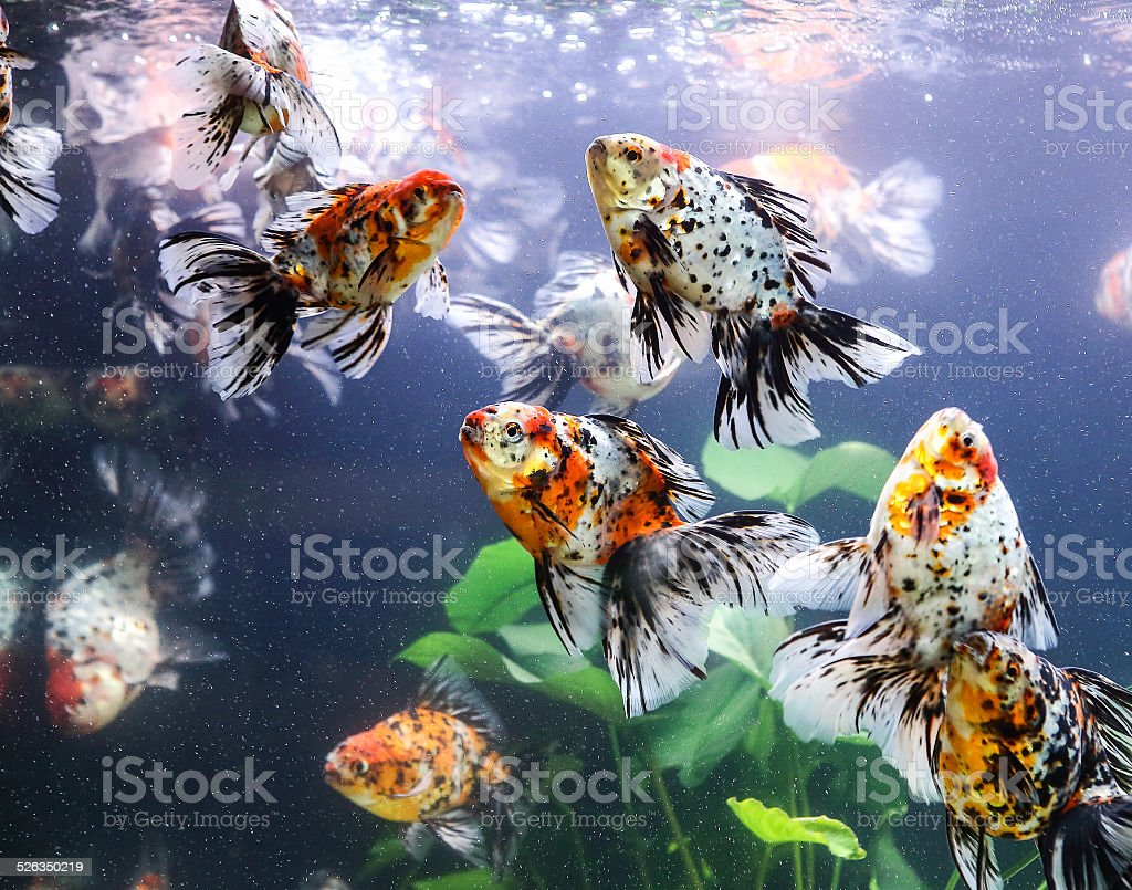 goldfish sucks a rocks in the aquarium stock photo