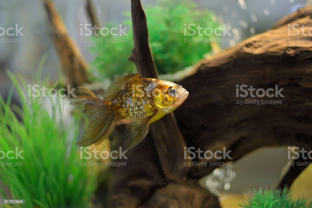 Goldfish swim in an aquarium among algae stock photo
