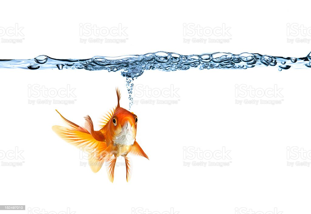 Goldfish swimming and making air bubbles stock photo