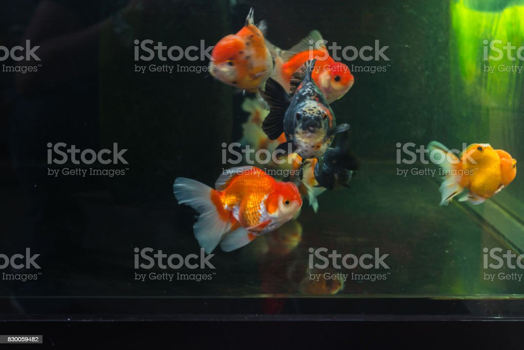 Goldfish swimming in a fish tank stock photo