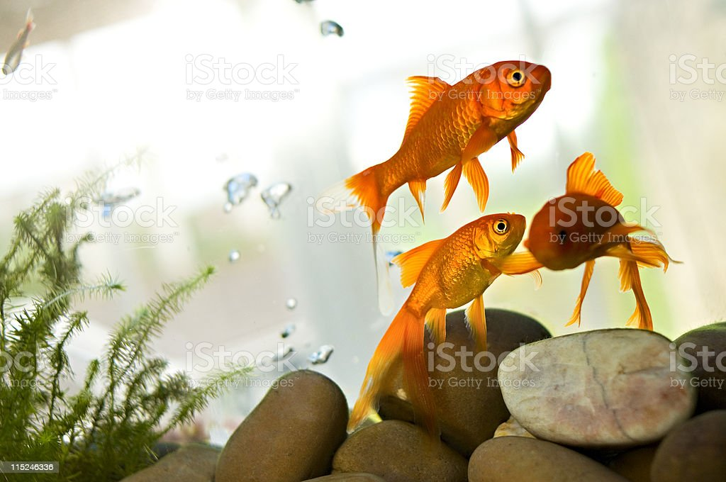 Goldfish swimming in tank stock photo