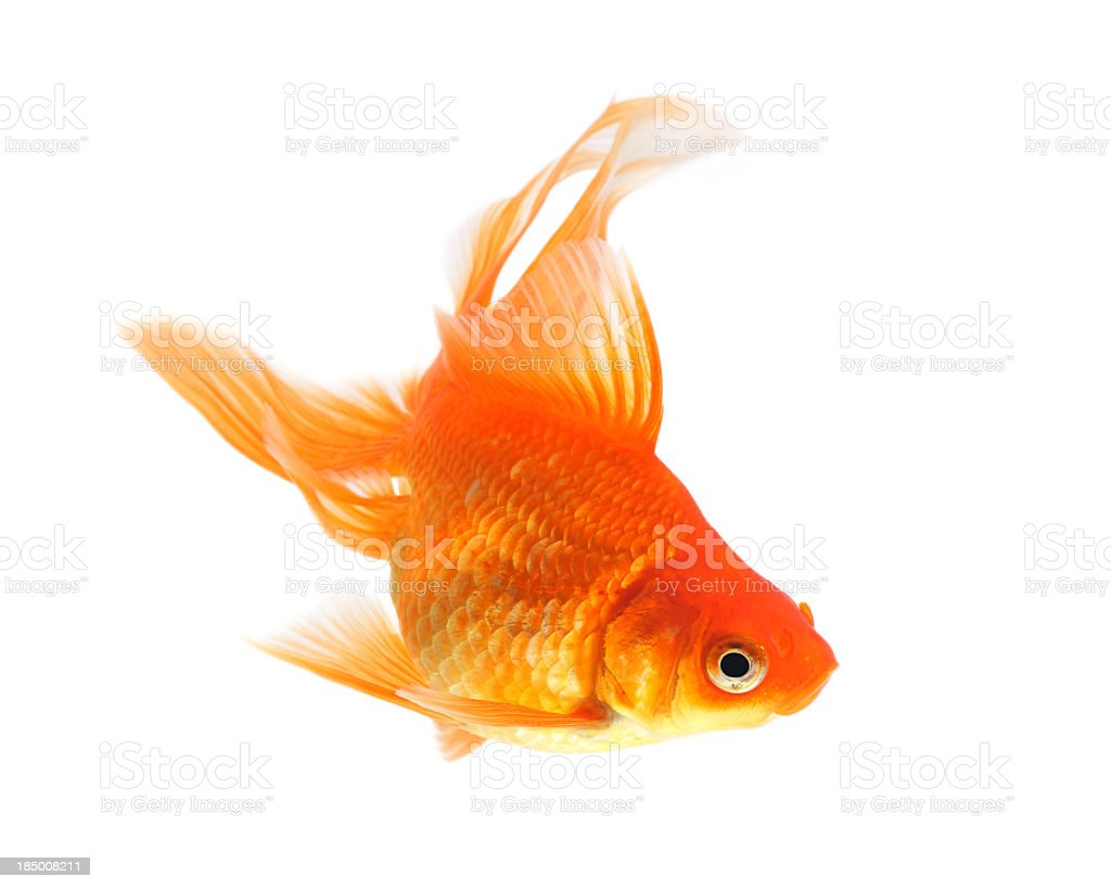 A goldfish swimming with a white background  stock photo