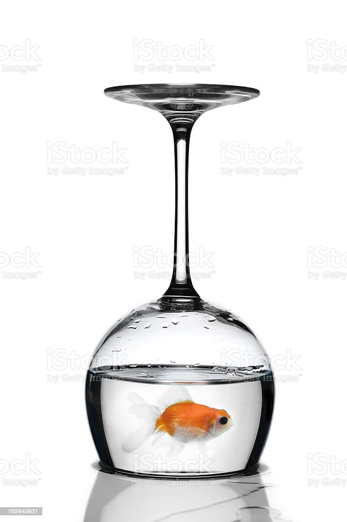 Goldfish Trapped In A Glass Upside-Down.Color Image stock photo