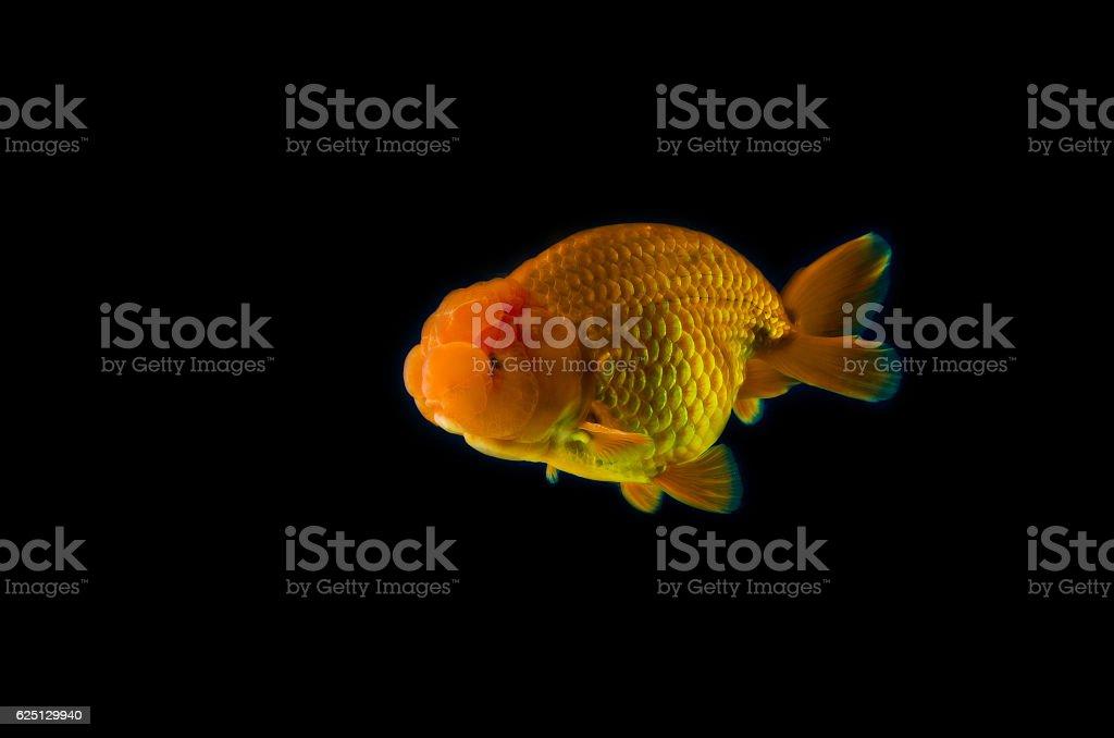 goldfish with black Background. stock photo