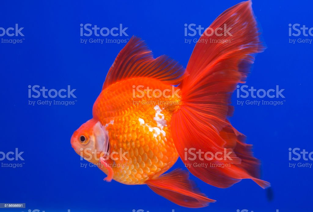 Goldfish with blue background stock photo