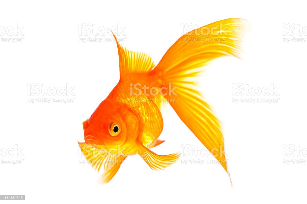 Goldfish with large fan tail isolated on white stock photo