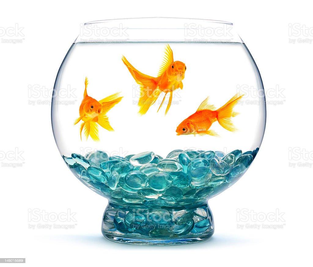 Goldfishes in an aquarium stock photo