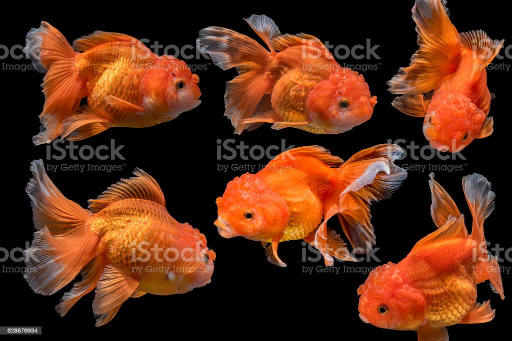 6 Goldfishs movement Isolated on dark Background stock photo