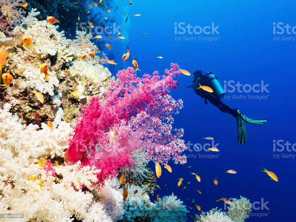 Goldies and Scuba Diver over coral reef, Egypt, Red Sea stock photo