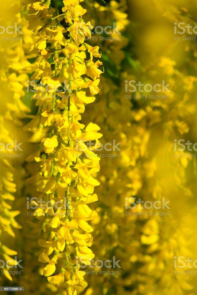 Goldregen stock photo