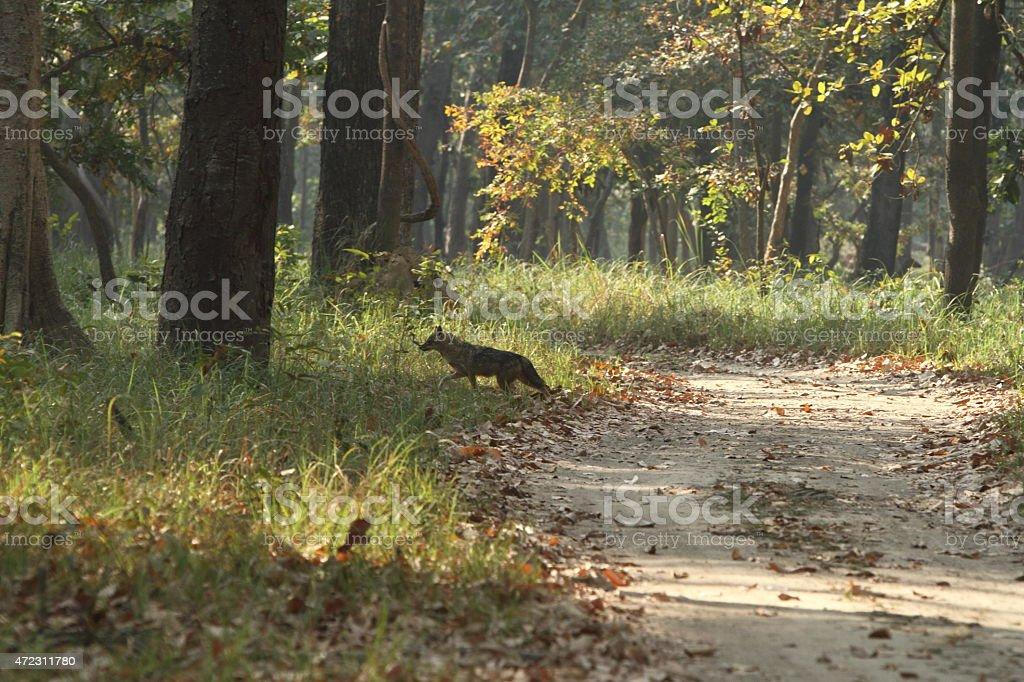 Goldschakal im Bardia Nationalpark Indien stock photo