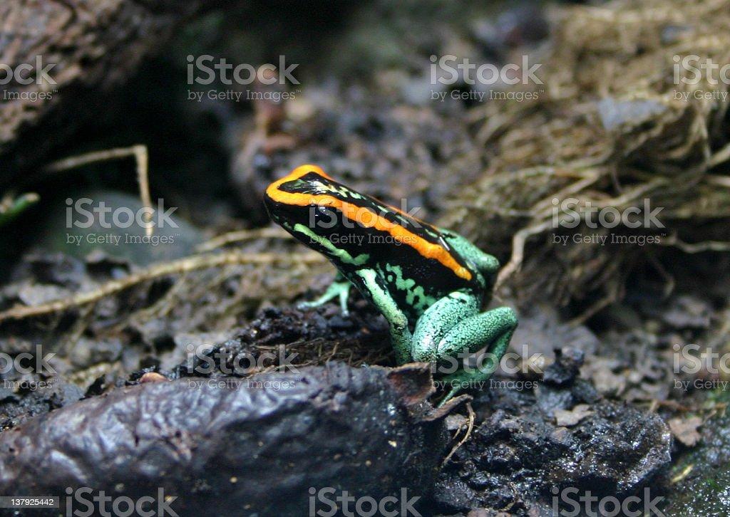 Golfodulcean Poison Arrow Frog royalty-free stock photo
