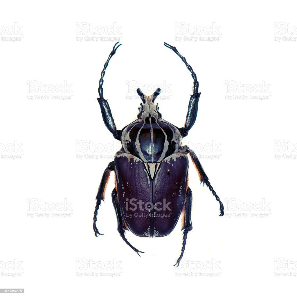 Goliath beetle isolated on white stock photo