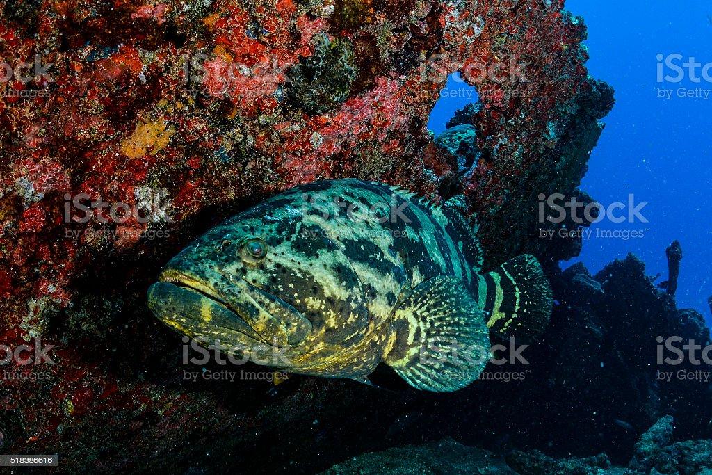 Goliath Grouper and shipwreck stock photo