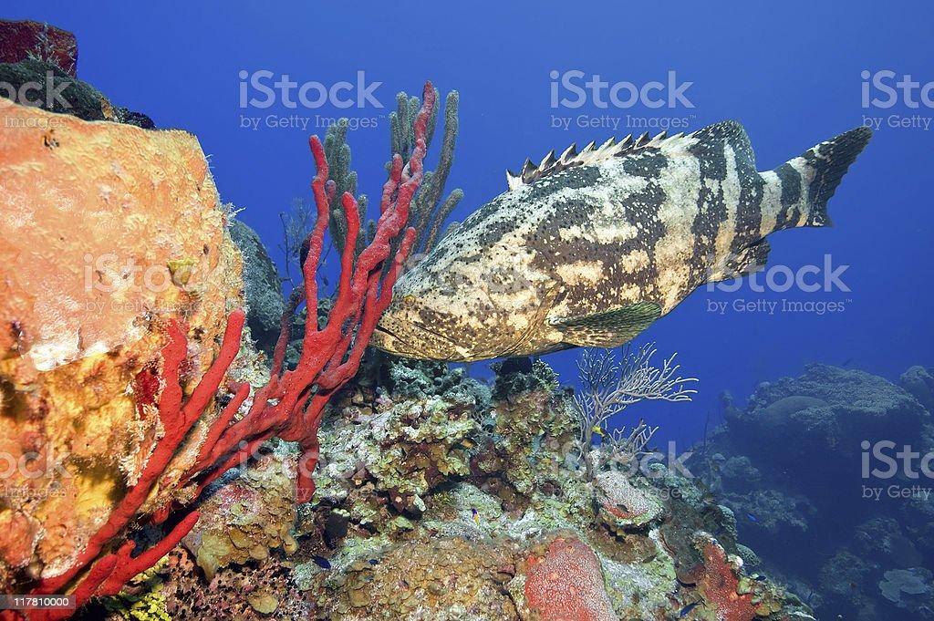 Goliath grouper royalty-free stock photo