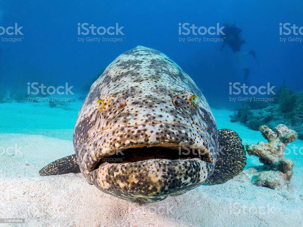 Goliath Grouper stock photo