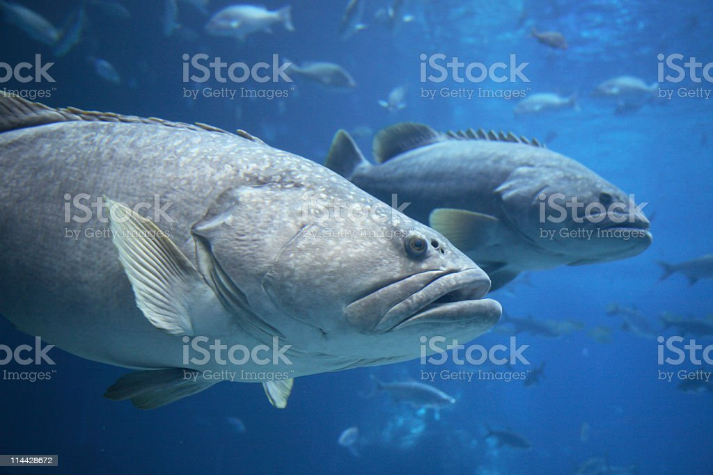 Goliath groupers stock photo