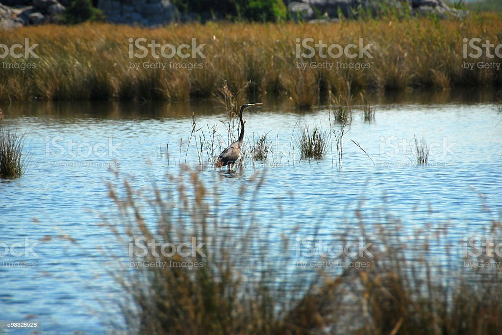 Goliath Heron is wading in the Delta of the Dalyan river. stock photo