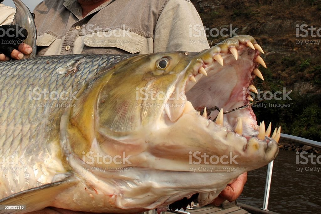 Goliath tigerfish stock photo 539093316 istock for Tiger fish pictures