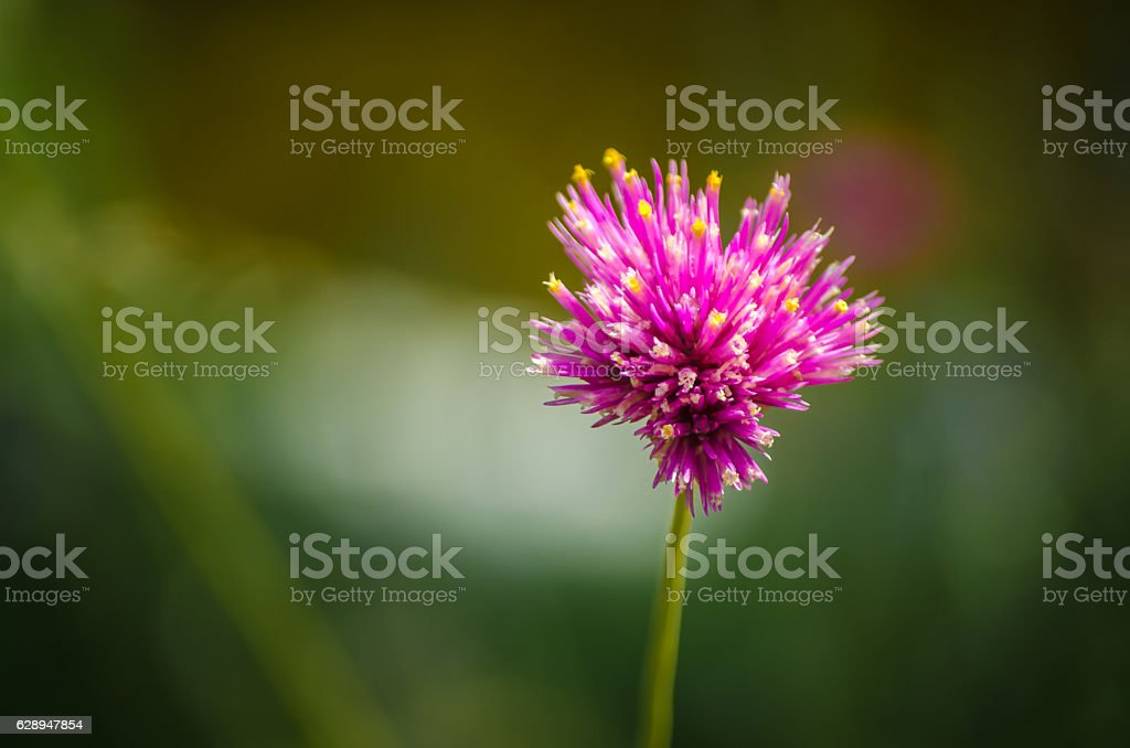 Gomphrena globosa stock photo