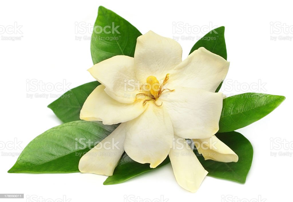 Gondhoraj flower with white petals and green leaves stock photo