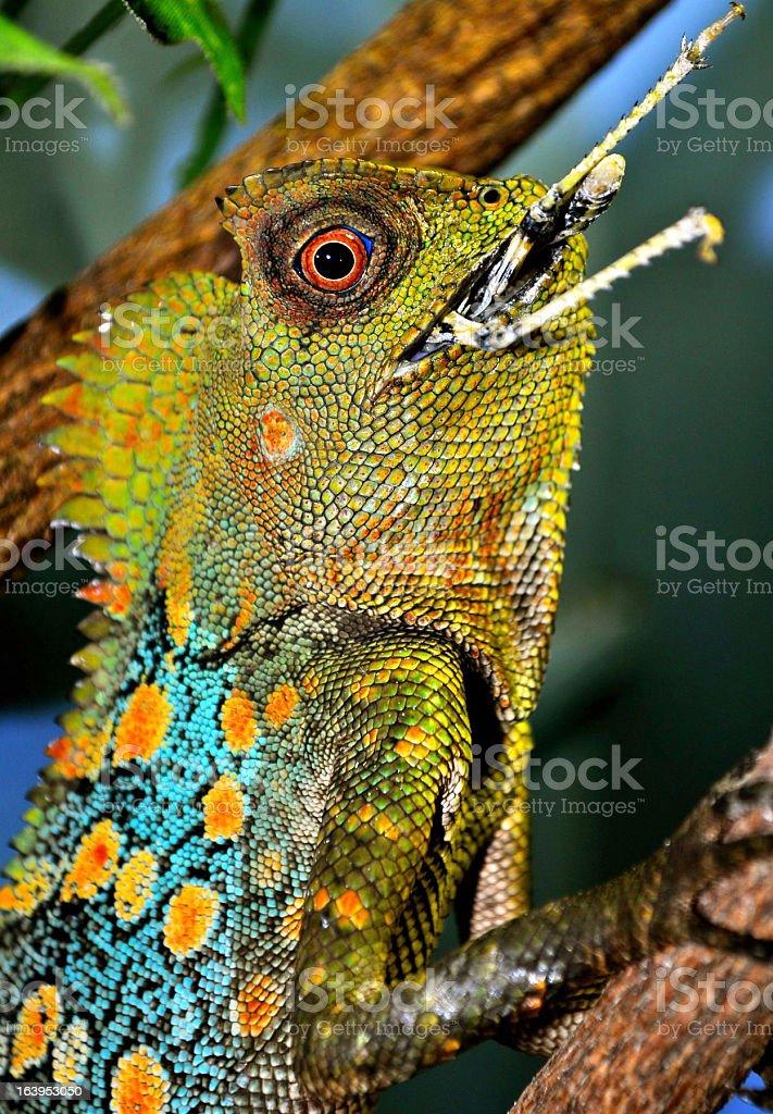 Gonocephalus Chamaeleontinus royalty-free stock photo