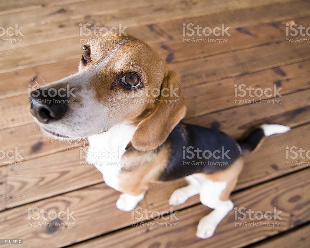 Good Dog royalty-free stock photo