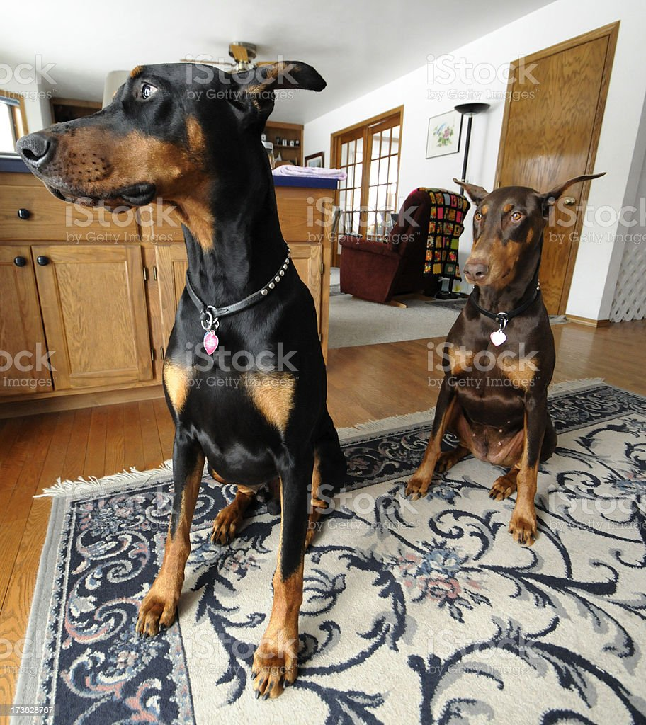 Good Dogs Just Want To Go Outside; Doberman Pinschers Indoors stock photo