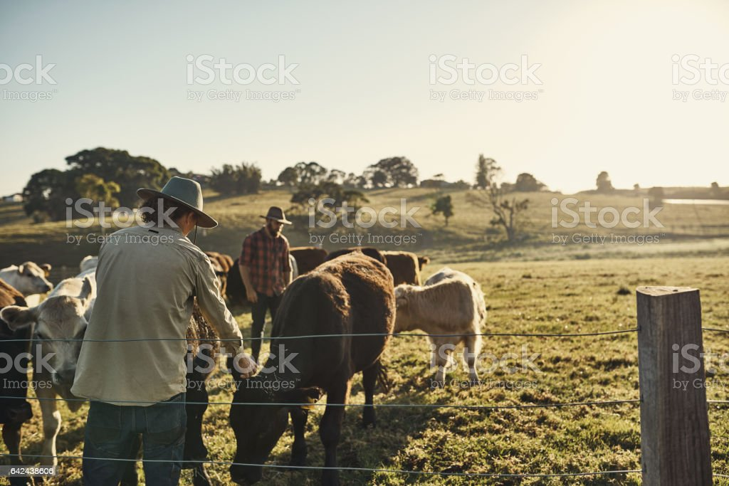 Good farmers get to know their herds stock photo