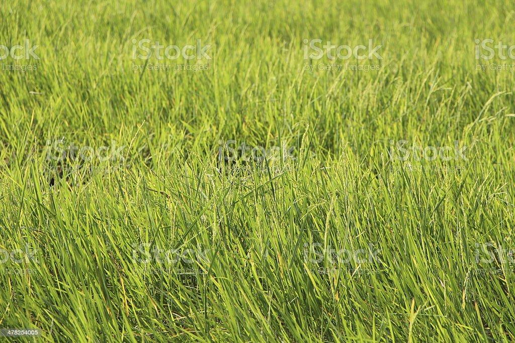 Хороший зеленый Рис до уборки. Стоковые фото Стоковая фотография
