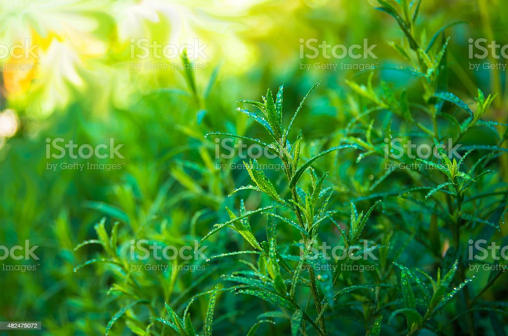 Good green tarragon stock photo