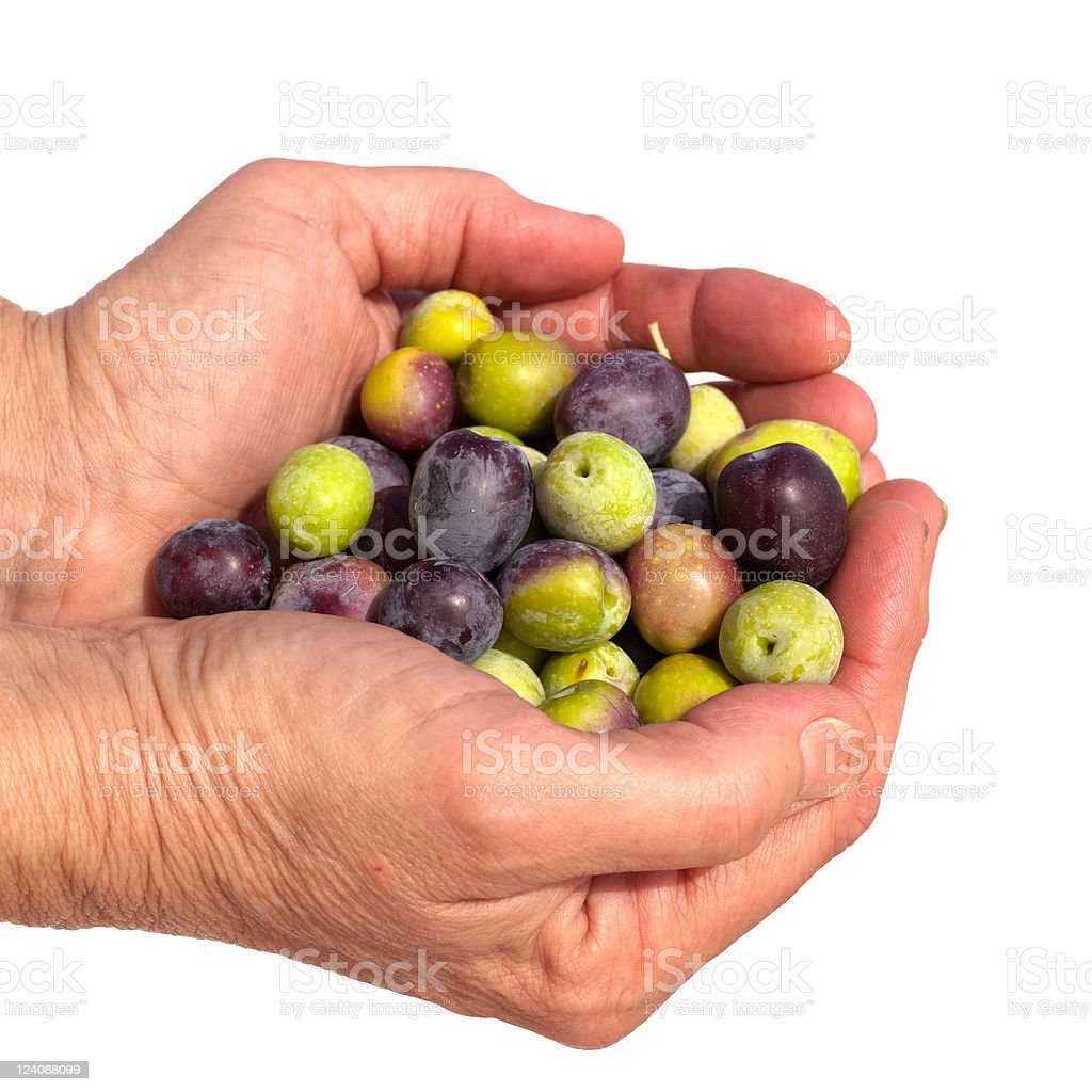 Good handful of ripe olives royalty-free stock photo