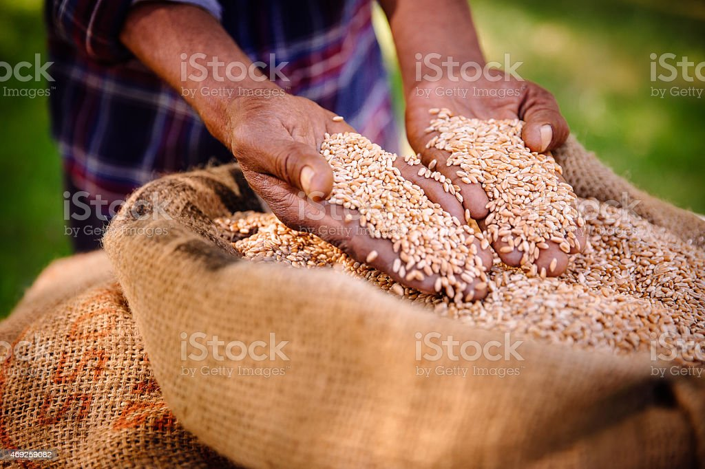 Good harvest of wheat on farm means food and produce stock photo