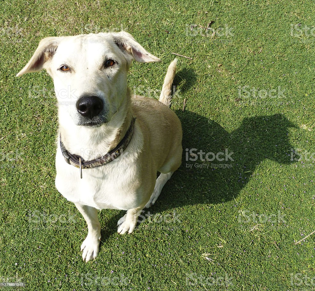 Good listening dog. royalty-free stock photo