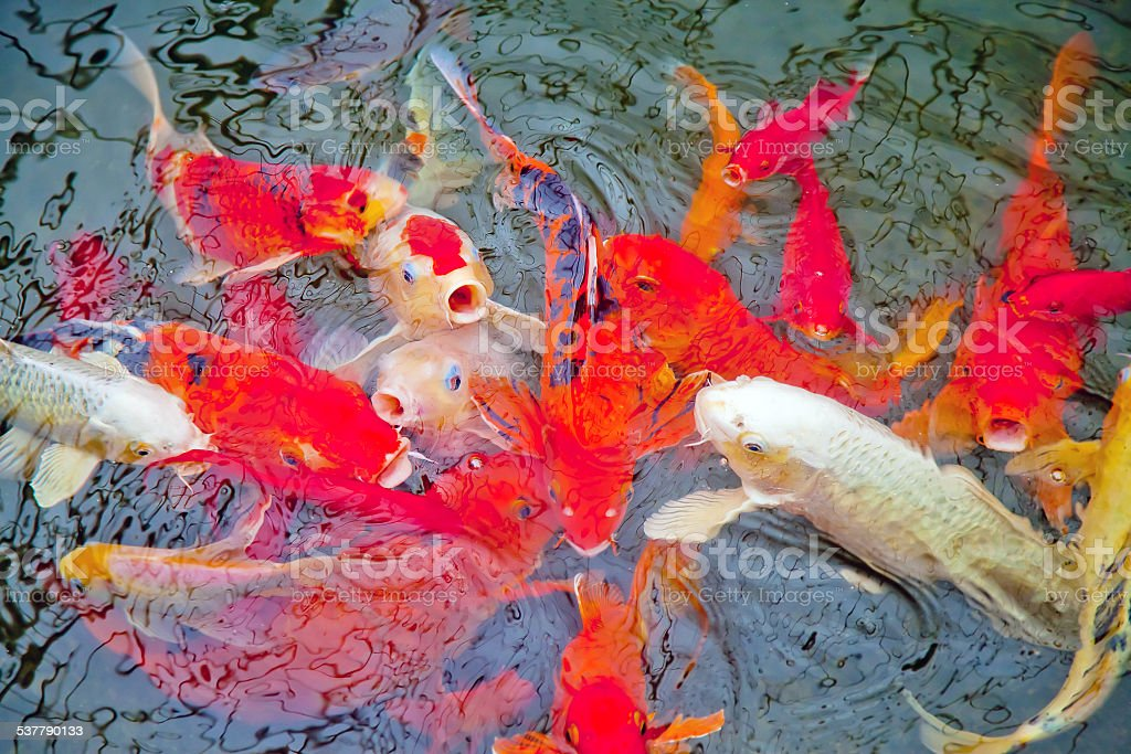 Good luck fish in a pond stock photo