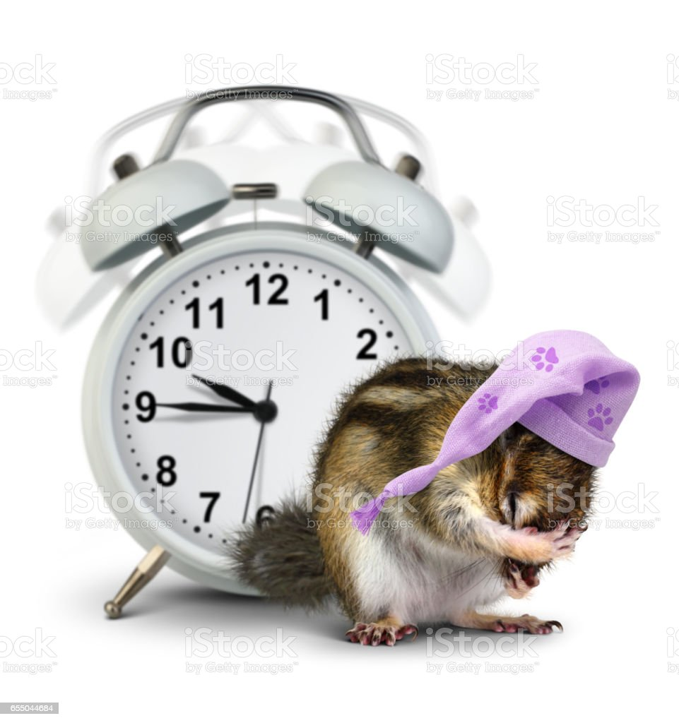 good morning concept, Funny animal chipmunk with ringing clock and sleeping hat stock photo