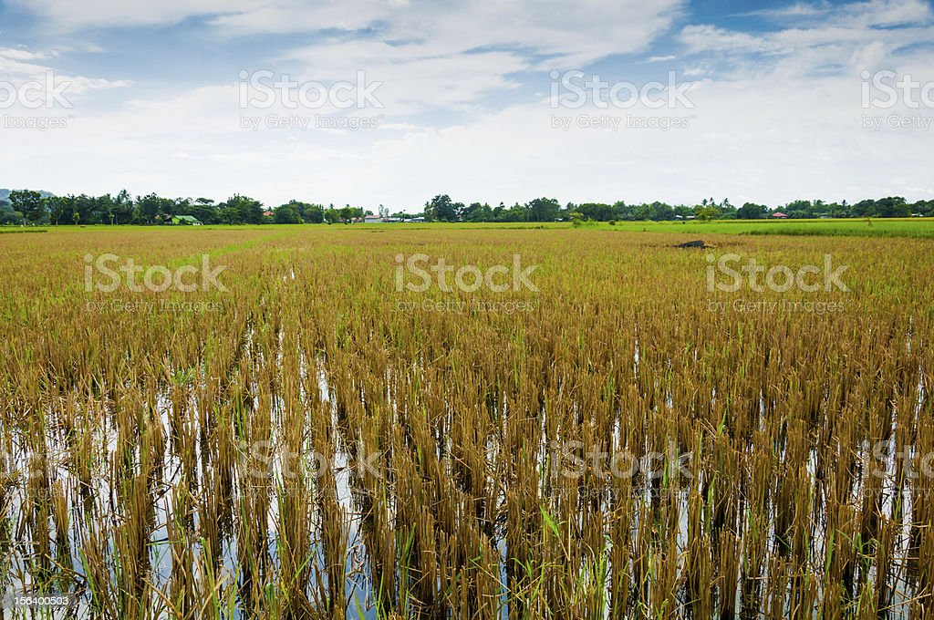 Good rice harvest royalty-free stock photo