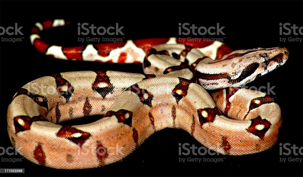 boa Snake royalty-free stock photo