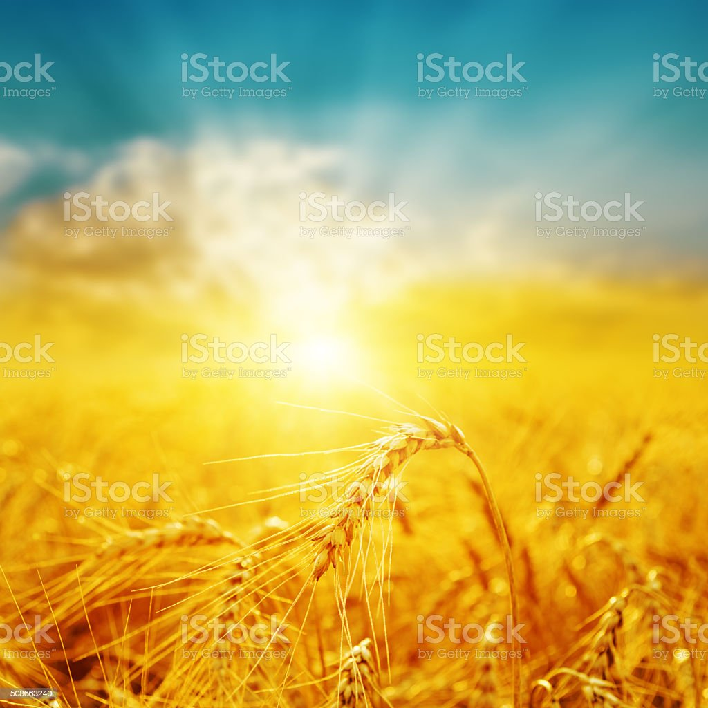 good sunset over golden field with harvest stock photo