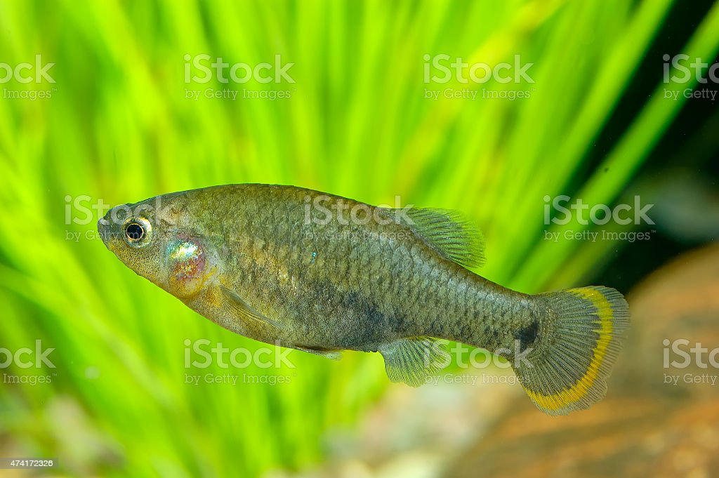 Goodeid fish stock photo
