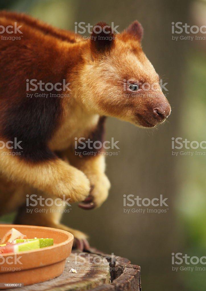 Goodfellow Tree Kangaroo stock photo