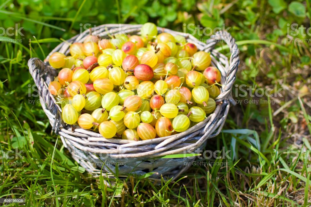 Goosberry in basket on grass stock photo