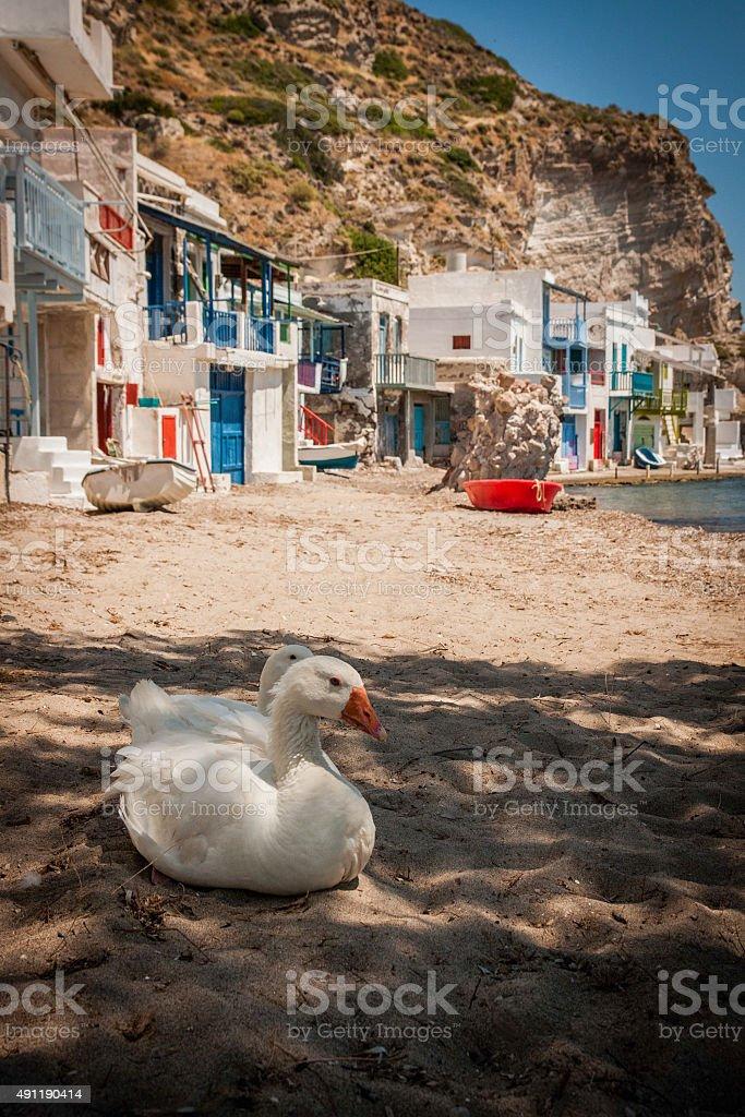 Canard et d'oie photo libre de droits