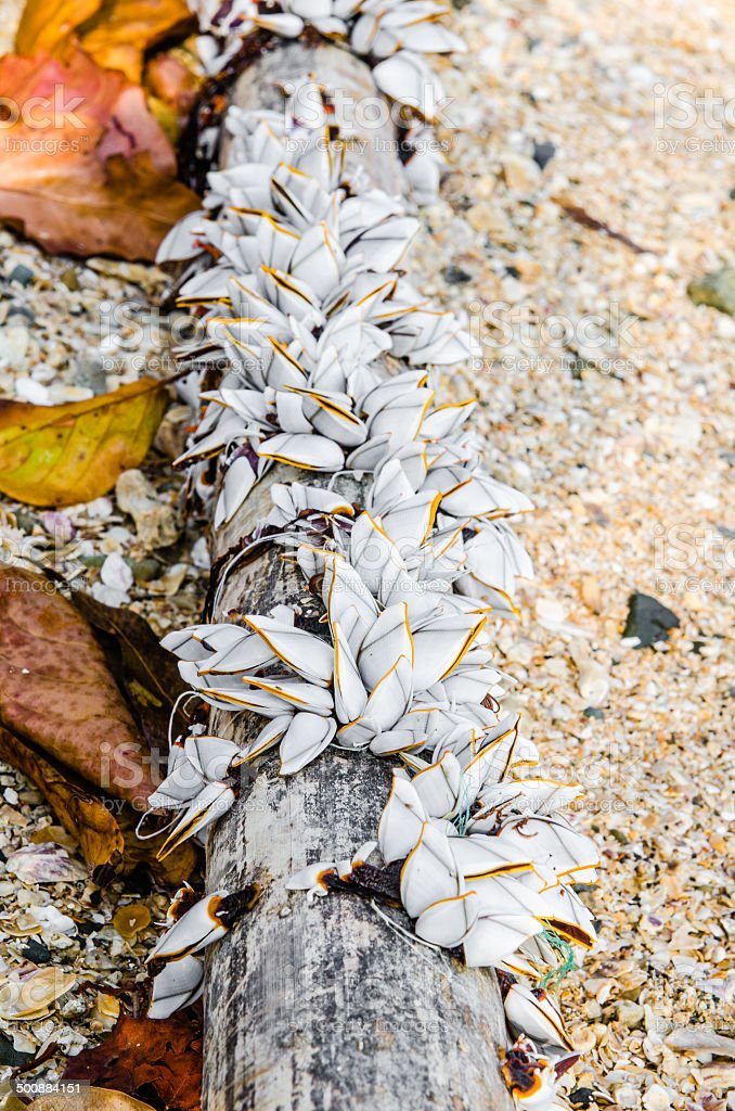 Goose Barnacles on bamboo, on the beach. stock photo