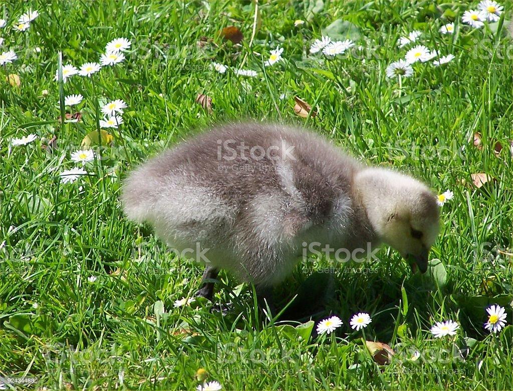 Goose Chick stock photo
