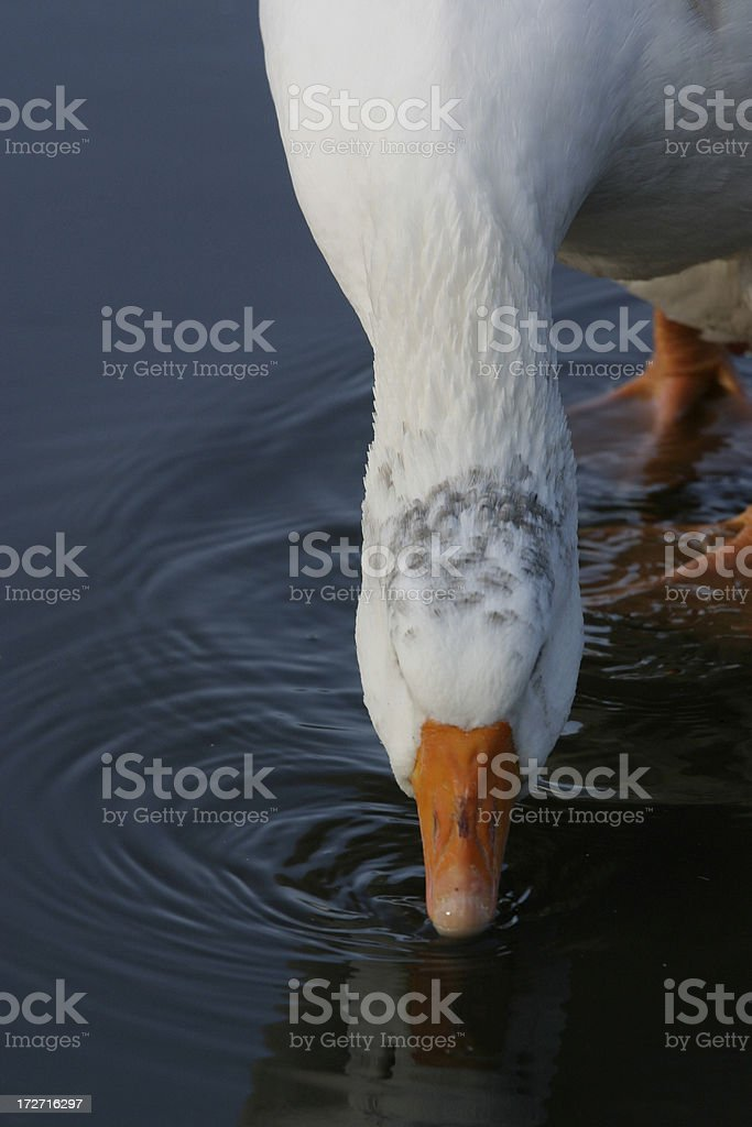 Goose Drinking royalty-free stock photo