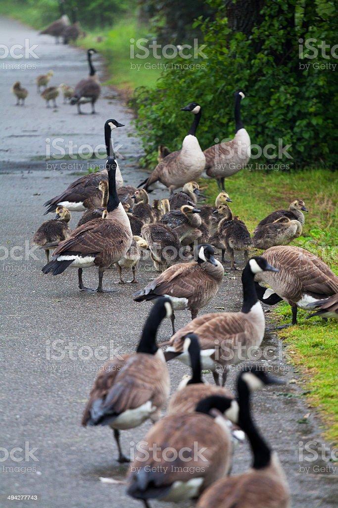 Goose families stock photo